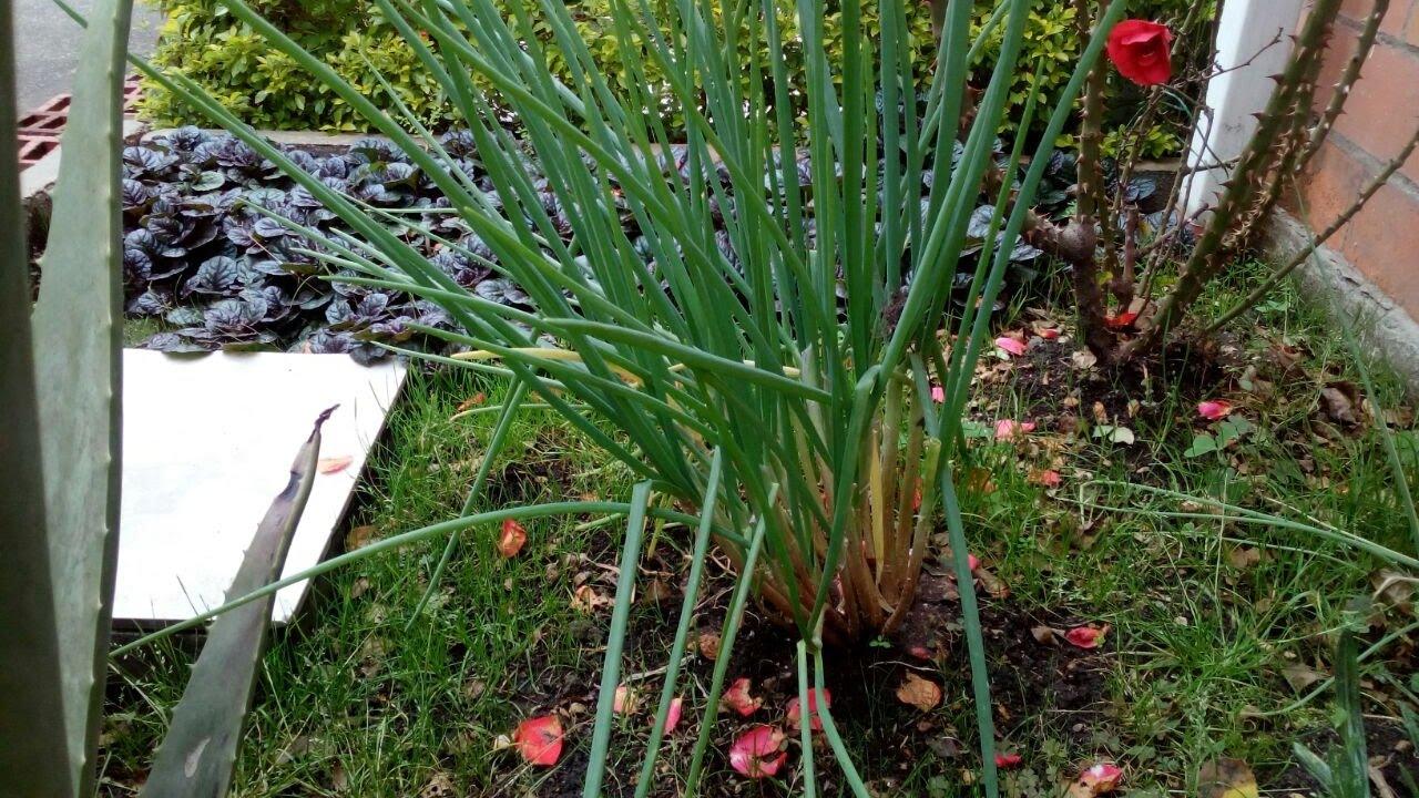 cultivo de cebolla larga en casa cocinando con lo que On cultivo de cebolla larga en casa