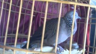 Chim cu gáy siêu thuần, bổ 4 tiếng