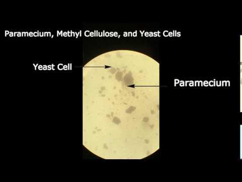 Paramecium, Methyl Cellulose, and Yeast Cells