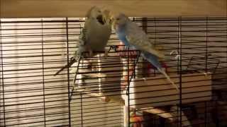 "Цезарь и Джулия ""Волнистые попугаи"" ЧЕХИ"" прогулка по квартире и знакомства с Рикардо и Жаклин"