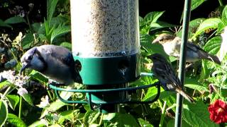 Blue Jay And House Sparrows At Bird Feeder