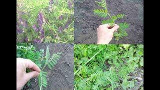 Горо́шек мыши́ный ( Vícia crácca) — многолетнее травянистое растение.Безвредный- со смертельным ядом