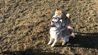 Omg shiba Koji attacks shiba brother