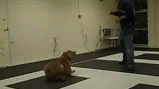 Neopolitan Mastiff / Akita Off-leash Trained (k9-1.com)