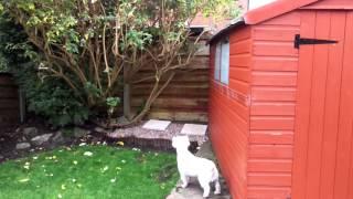 Westie Stalking A Cat.