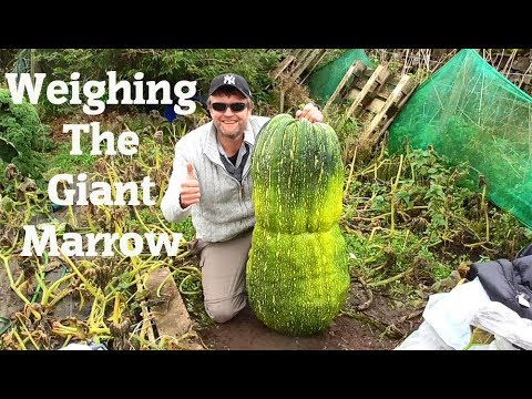 Weighing this years Giant Marrow.