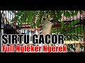 Cipoh Sirtu Gacor Full Ngleker Ngerek  Mp3 - Mp4 Download