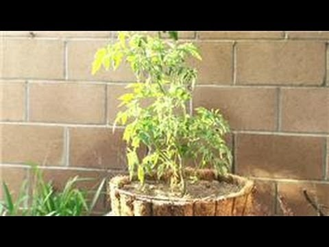 Tomato Gardening : How Do I Grow Different Tomato Plant Varieties?
