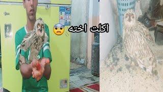 شيئ لا يصدق لأول مره في العراق بومه تاكل بومه الأجرام لدى الحيوان
