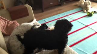 Love Between Toy Poodle (daisy) & English Pointer (marcus)