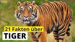 21 Steckbrief-Fakten über Tiger - Doku-Wissen für Kinder