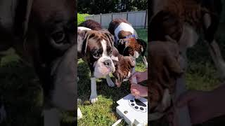 Boxer dogs are trying to figure out the dog fountain!