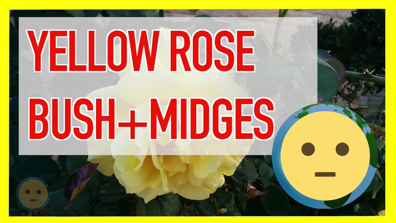 Yellow Rose Bush W Large Roses Flower Petals Midges On Leaves
