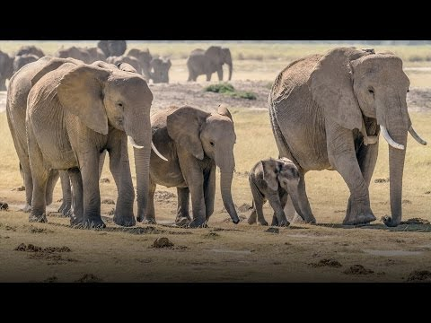 Racing to save Kenya's wild elephants from poachers