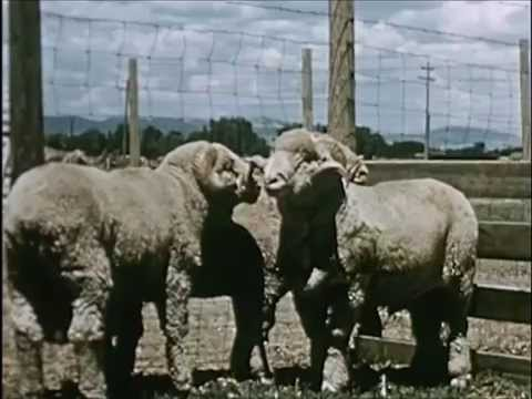 Different Types of Sheep and If They're Used for Meat or Wool - Sheep (1954) - CharlieDeanArchives
