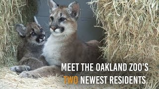 Oakland Zoo's newest residents: two orphaned mountain lion cubs