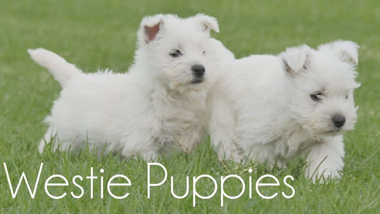 Westies Terrier Puppies - Goldenacresdogs com