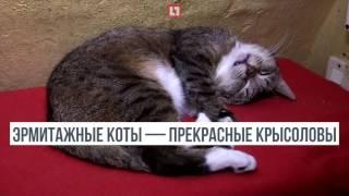 Эрмитажные коты собрали очереди из посетителей