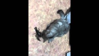 кошка и рак