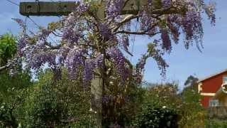 De flor de orquídia y glicinia 18 abril 2013.