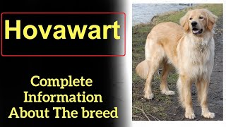 Hovawart. Pros and Cons, Price, How to choose, Facts, Care, History