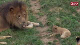Tomo and Asali's Lion Cubs' First Outing