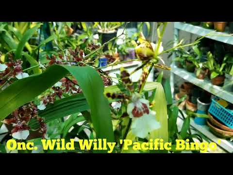 Onc. Wild Willy Pacific Bingo In Flower