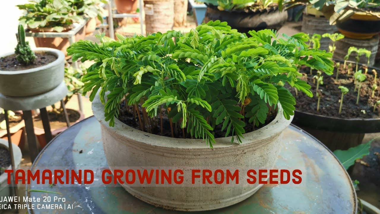 Growing Tamarind From The Seeds For Bonsai Youtube