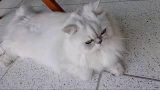 Персидский #кот и #денежнаякошка