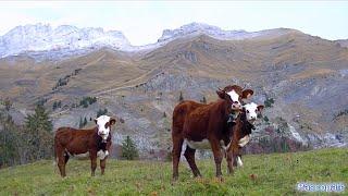 Les vaches avec les cloches dans les alpages .