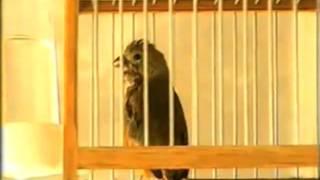 Capuchino Garganta Café (Sporophila Ruficollis).mpeg