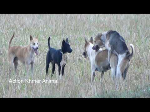 Awesome Summer Ruraldogs!! Australian Shepherd, Pembroke Welsh Corgi, Boston Terrier Part 01