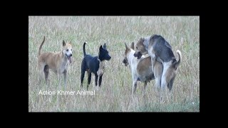 Awesome Summer Ruraldogs!! Australian Shepherd, Pembroke Welsh Corgi, Boston Terrier Part 01