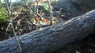 Weimaraner Jumping Over A Fallen Tree