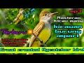 Terbaru Suara Burung Import Great Crested Flycatcher Bird Kicauan Nya Jarang Orang Tau Birdsong  Mp3 - Mp4 Download