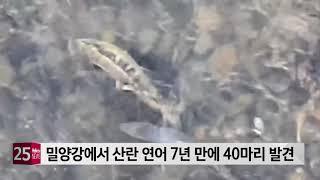 밀양강에서 산란 연어 7년 만에 40마리 발견
