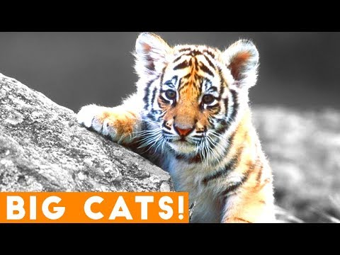Ultimate Tiger, Lion and Big Cat compilation 2018 | Funny Pet Videos FPV!