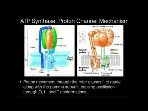 ATP Synthase: Proton-powered Rotation