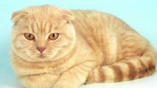 Порода кошек. Хайленд фолд (Шотландская вислоухая).Лохматая кошка с подогнутыми ушками