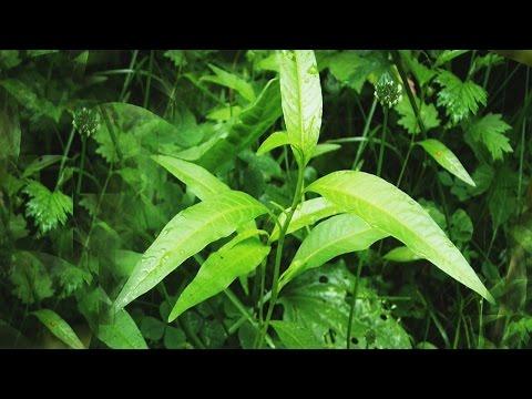 Водяной перец (настойка) — описание, лечебные свойства