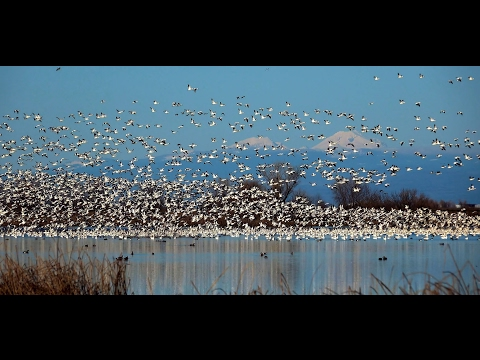 Snow Geese Show- 2017-01-14 @ Sacramento National Wildlife Refuge V. 1