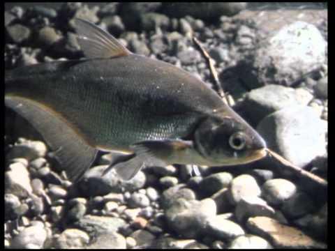 LFV, Fische Und Fischerei, Teil 2, Cypriniden, Folge 1 (VTS_01_1)