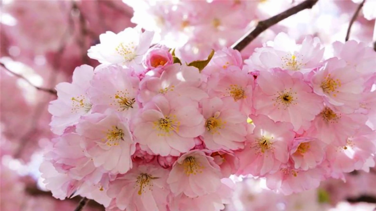 Spring Pink Flowers Hd1080p Youtube
