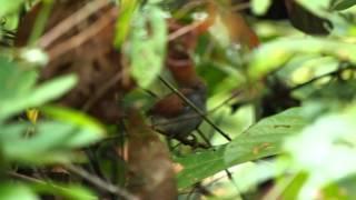 Chestnut Winged Babbler MOV