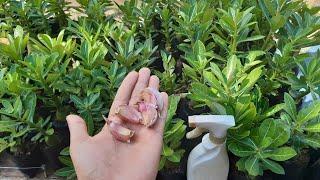 Plantas Sem Pragas E Saudáveis – Com Álcool De Alho