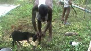 Goat Slaughter (Jhatka) For Meat, Latakandi, Hailakandi, Assam