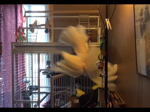 So You Think You Want A Cockatoo?