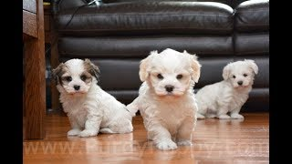 3 Havanese puppies ready for homes.