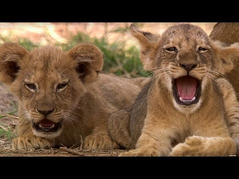 Cute Lion Cubs Only 6 Weeks Old! | This Wild Life | BBC