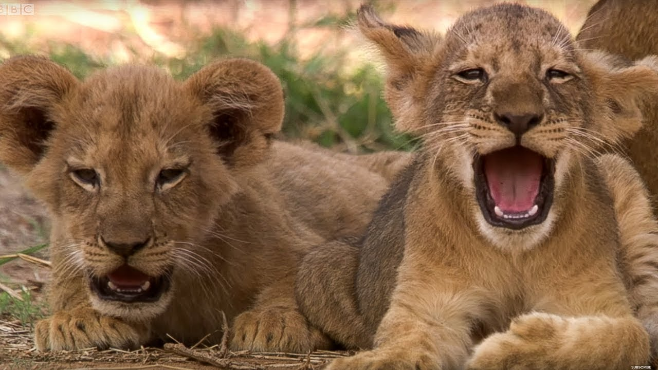 Cute Lion Cubs Only 6 Weeks Old This Wild Life Bbc
